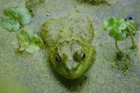 FrogNisquallySmallWorld