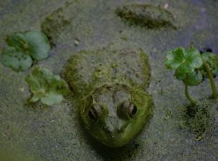 Frog2Nisqually